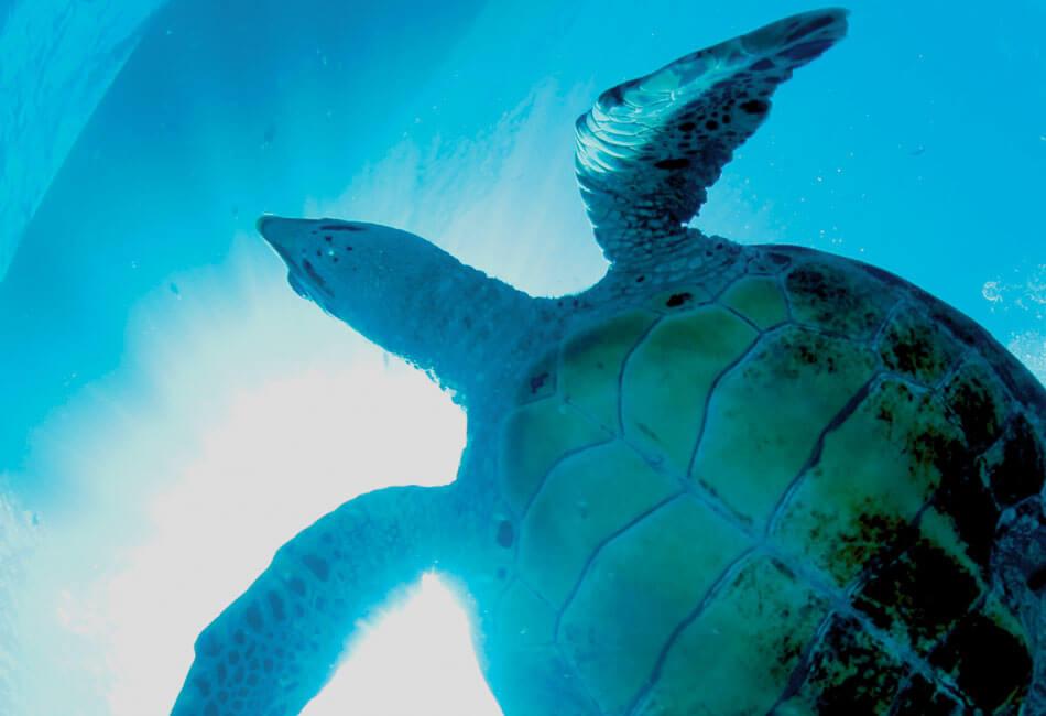ウミガメ海中